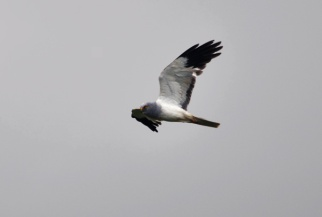Male hen harrier