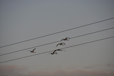 Power lines are a greater threat to whooper swans than wind turbines